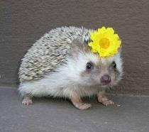 This hedgehog with a daisy in her hair wishes you would spend a bit more time volunteering